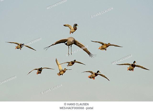 Germany, Mecklenburg-Western Pomerania, Common crane, Grus grus, and mallard, Anas platyrhynchos, flying