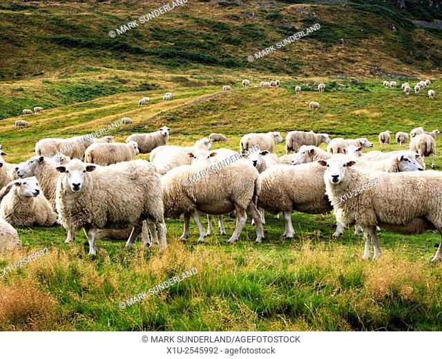 Sheep on the Slopes of Humbleton Hill near Wooler Northumberland National Park England