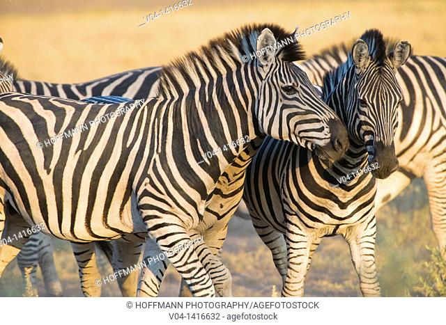 Close up of several Burchell's zebras (Equus burchelli) in Botswana, Africa