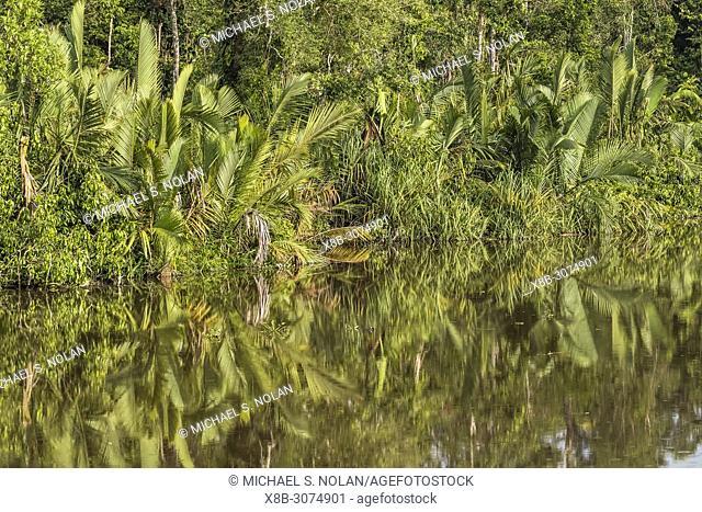 Nipa palm, Nypa fruticans, Sekonyer River, Tanjung Puting National Park, Borneo, Indonesia