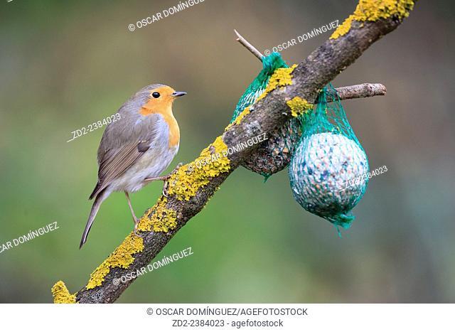 European Robin (Erithacus rubecula) feeding from garden bird fat-ball. Collserola Natural Park. Catalonia. Spain