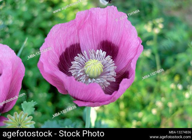 Opium poppy (Papaver somniferum), pink flower