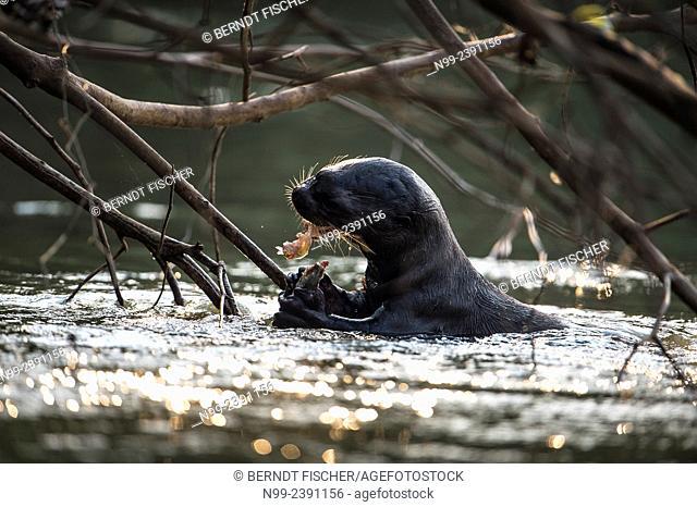 Giant otter (Pteronura brasiliensis), feeding on fish. Pantanal, Mato Grosso, Brazil