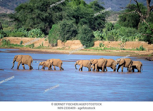 African elephant (Loxodonta africana), herd crossing a river, Samburu National Reserve, Kenya