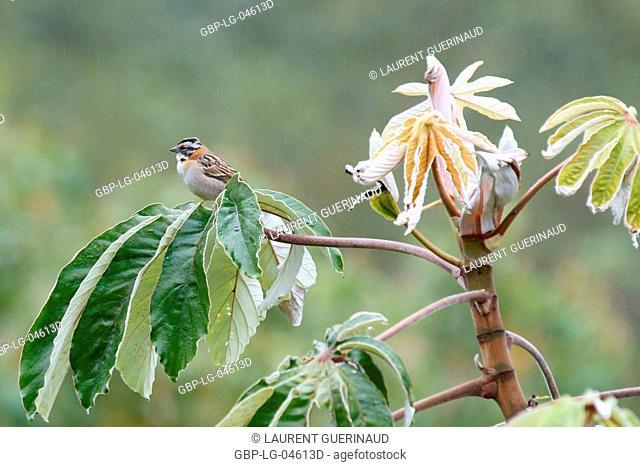 Bird, Tick-tick, Chapada Diamantina, Bahia, Brazil