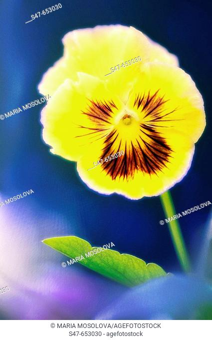 Yellow Pansy. Viola x wittrockiana. July 200. Maryland, USA