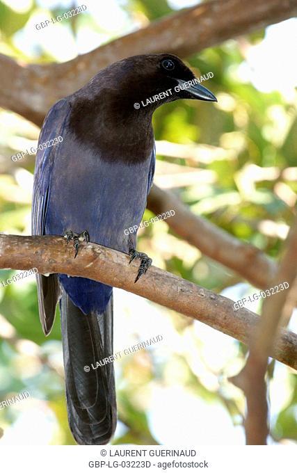 Ave, Crow-gray, Pantanal, Mato Grosso do Sul, Brazil