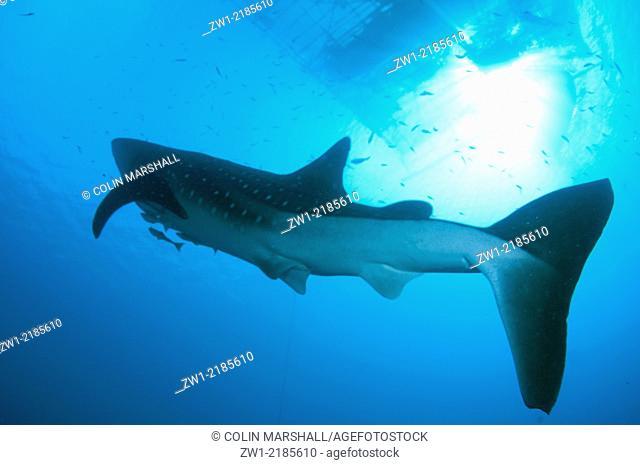 Whale Shark (Rhincodon typus) with Remoras at fishing raft (Bagan), Cenderawasih (Bird of Paradise) Bay, West Papua, Indonesia
