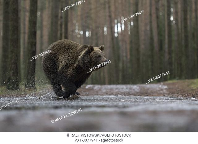 Eurasian Brown Bear ( Ursus arctos ), young cub in a hurry, running fast through a frozen puddle, crossing a forest road, in winter, Europe