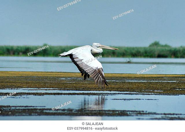 Great white pelican (Pelecanus onocrotalus) in the Danube delta