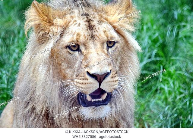 Male Katanga Lion Head Closeup