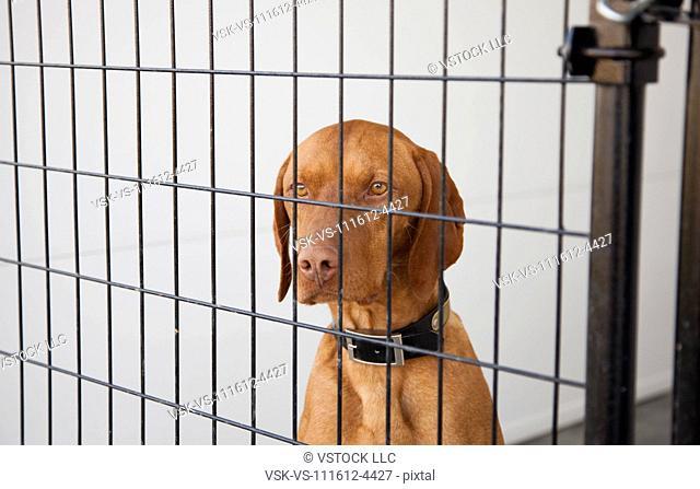 Portrait of Vizsla dog