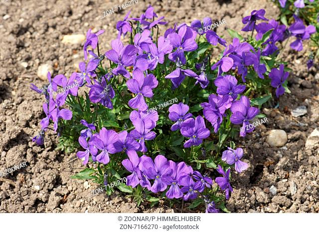 Duby`s violet