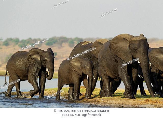 African Elephant (Loxodonta africana), breeding herd has been crossing the Chobe River, Chobe National Park, Botswana