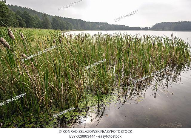 Reed lake in Dziemiany commune, Kashubia region of Pomeranian Voivodeship in Poland