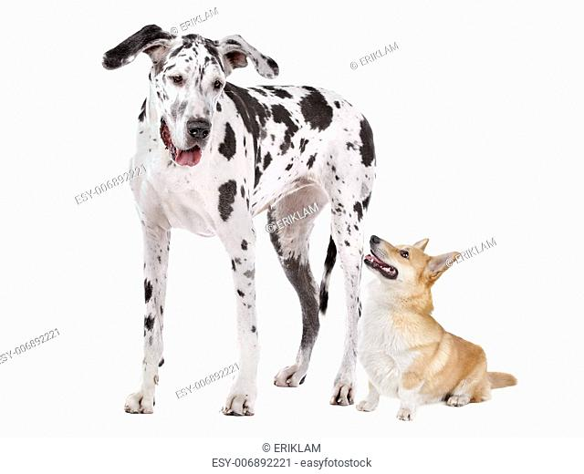 Harlequin Great Dane and aPembroke Welsh Corgi dog in front of a white background
