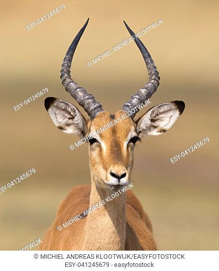 Common Impala (Aepyceros melampus) walking in the Kalahari