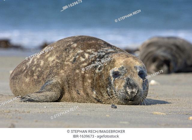 Grey seal (Halichoerus grypus) on the beach of the island of Heligoland, Helgoland, Schleswig-Holstein, Germany, Europe