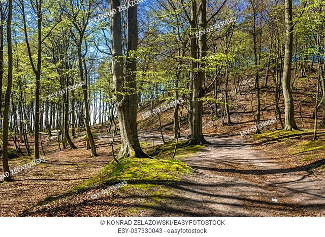 Beech trees in Landscape Park area over Baltic Sea in Orzechowo village in Pomeranian Voivodeship of Poland