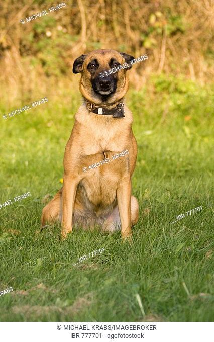 Belgian Shepherd Dog, Malinois breed