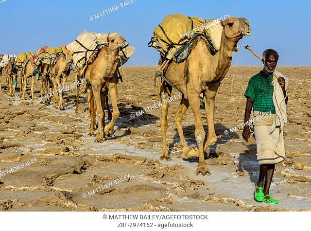 An Ethiopian man guides his camel train through the Danakil Depression in Northern Ethiopia