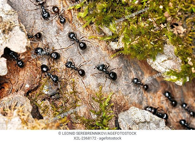Marching black garden ants. Scientific name: Lasius niger