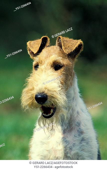 Portrait of Wire-Haired Fox Terrier