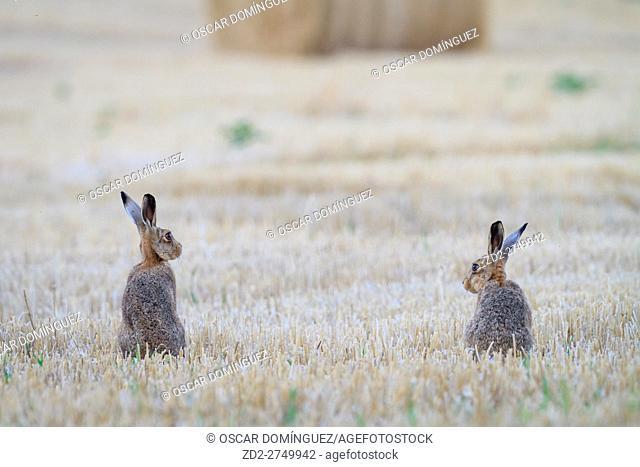 European Hare (Lepus europaeus), two sitting in field. Norfolk. England. UK