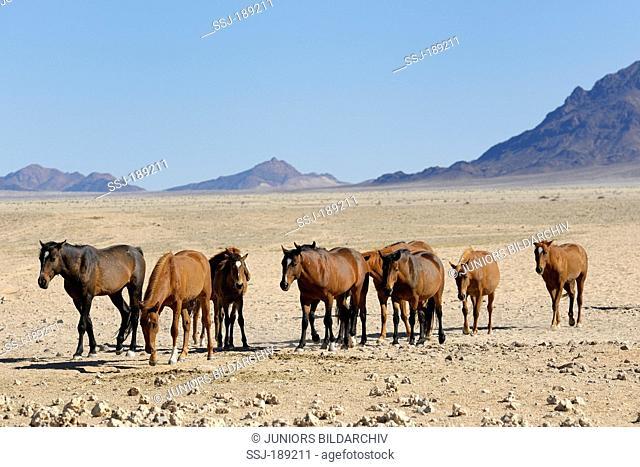 Namib Desert Horse (Equus ferus caballus). Herd in Garub Pan, Namib Desert, Naukluft National Park, Namibia