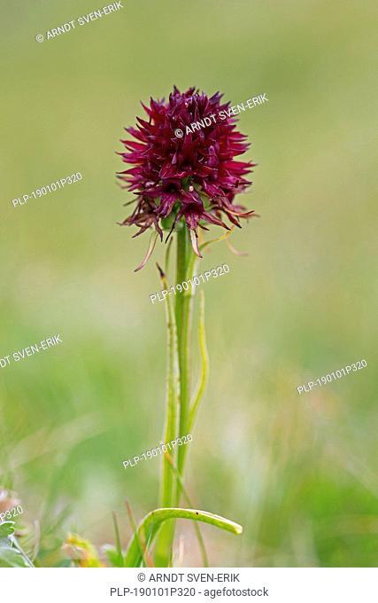 Black vanilla orchid (Gymnadenia austriaca / Nigritella nigra subsp. austriaca / Nigritella austriaca) in flower, Hohe Tauern National Park, Carinthia, Austria