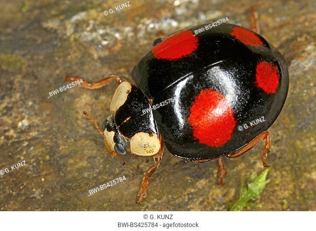 multicoloured Asian beetle (Harmonia axyridis), sits on a stone, Austria