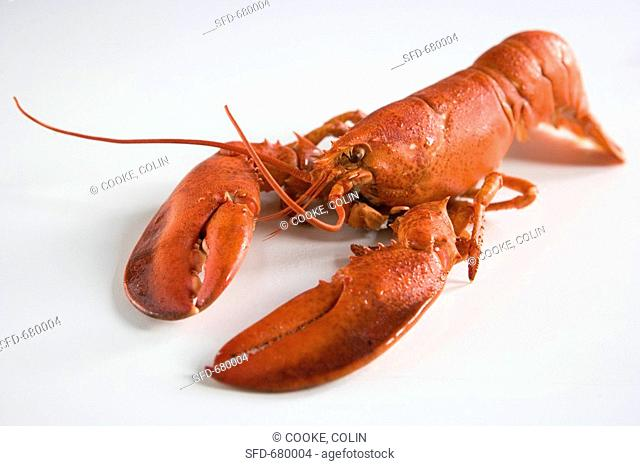 Whole Boiled Lobster on a White Background