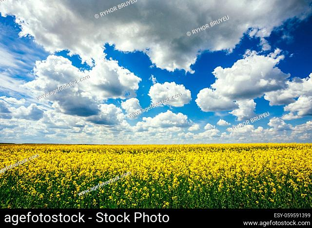 Green Field Blue Sky. Early Summer, Flowering Canola, Rape, Rapeseed, Oilseed, Biodiesel Crop. Agricultural Background