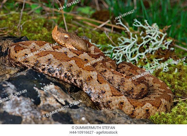 viper, vipers, adder, adders, nose-horned viper, Vipera ammodytes meridionalis, snake, snakes, reptile, reptiles, general view, protected, endangered, Greek