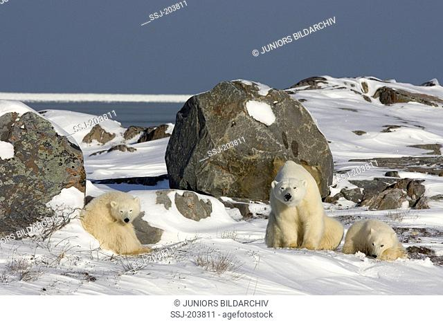 Polar Bear (Ursus maritimus, Thalarctos maritimus). Mother with two cubs sitting on tundra. Hudson Bay, Canada