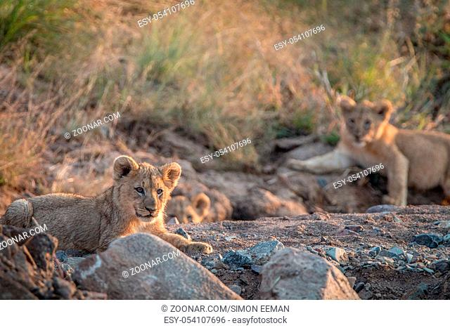 Lion cubs laying on the rocks in the Pilanesberg National Park, South Africa