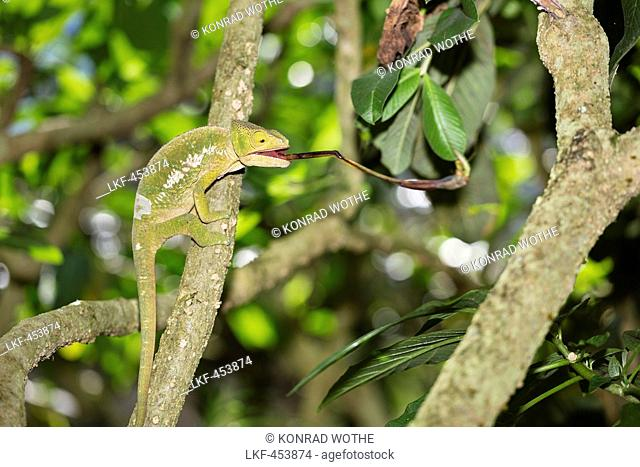 Panther Chameleon catching a cricket, Furcifer pardalis, Madagascar, Africa