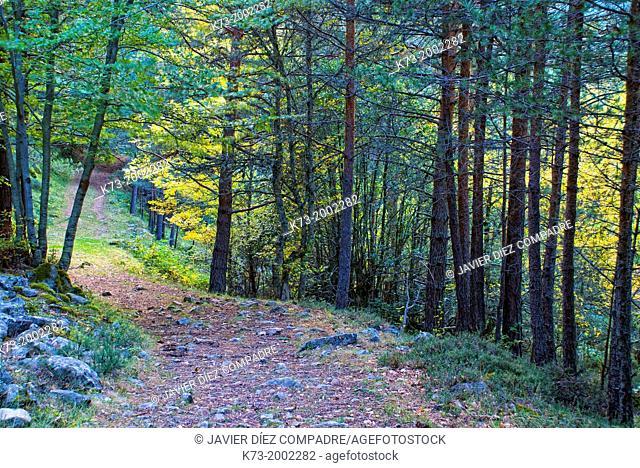 Forest. Puente Ra Path. Sierra Cebollera Natural Park. Villoslada de Cameros. Logroño Province, La Rioja. Spain