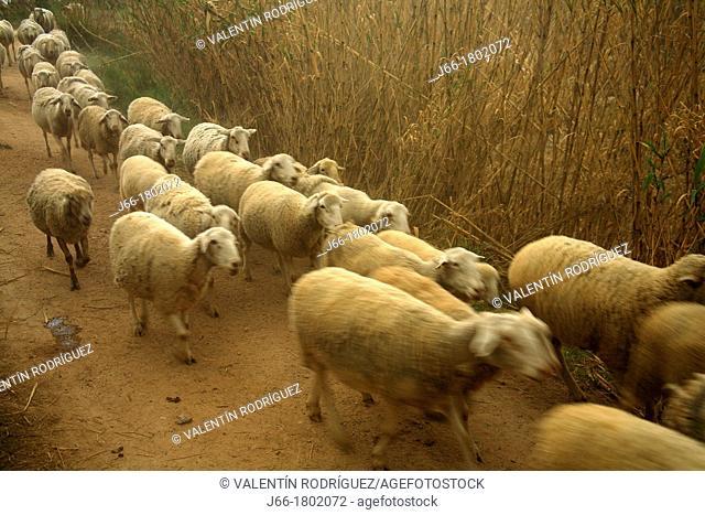 Sheep walking on a road  Castellón