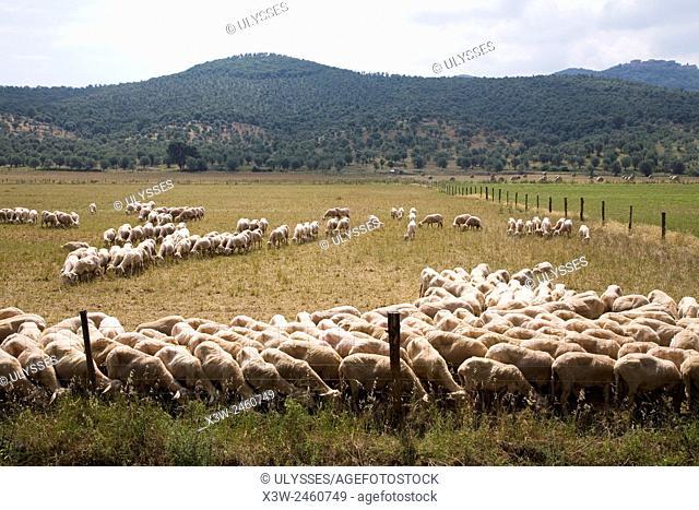 europe, italy, tuscany, sticciano area, sheeps to pasture