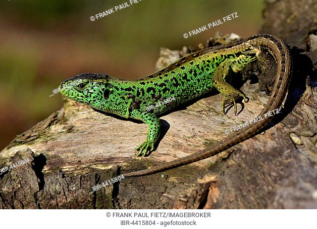 Male sand lizard (Lacerta agilis) in courting colours, basking, North Rhine-Westphalia, Germany