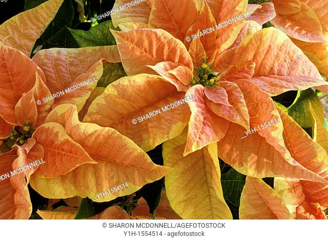 Beautiful warm poinsettia plant, Euphorbia Pulcherrima, shows its color in Christmas time for the holidays, Vermont, USA