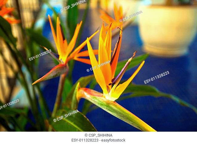 Bird-of-paradise, Crane flower
