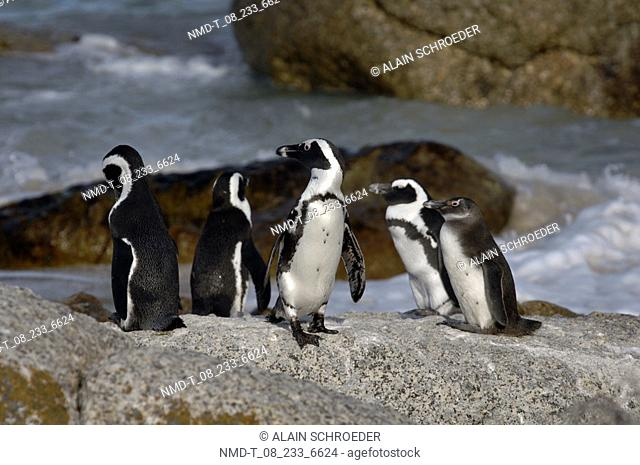 Five penguins on the beach, Boulders Beach, Cape Town, Western Cape Province, South Africa