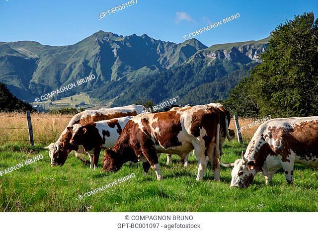 FERRANDAISE COW, THE MONT-DORE, SANCY MOUNTAIN, PUY-DE-DOME (63), AUVERGNE, FRANCE