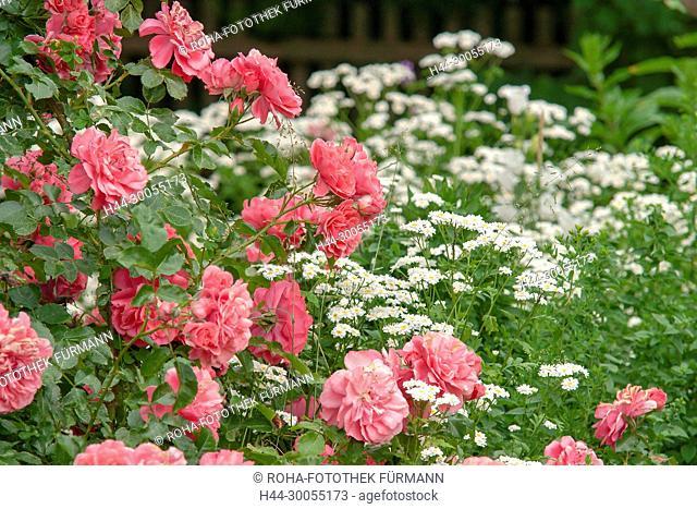 Bild, Roha-Fotothek, Foto, Blume, Blumen, Bluete, Blüte, Blueten, Blüten, Rose, Knospen, rot, rote Blüte, rote Bluete, Hausgarten, Garten, Gartenblume