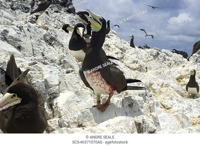 Injured brown booby, Sula leucogaster, St Peter and St Paul's rocks, Brazil, Atlantic Ocean