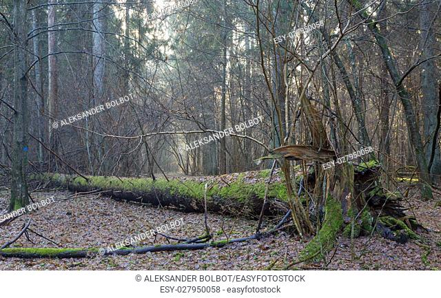 Old broken giant spruce tree lying in misty morning stand, Bialowieza Forest, Poland, Europe