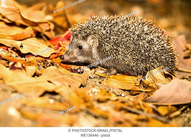 Eastern European hedgehog, Erinaceus concolor, Israel. The hedgehog is an omnivore and has been known to eat a wide range of invertebrates