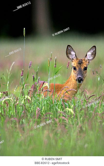 Roe deer in pasture looking up